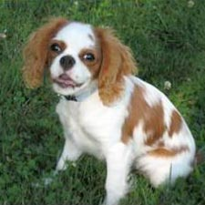 Picture of a Cavalier King Charles Spaniel dog